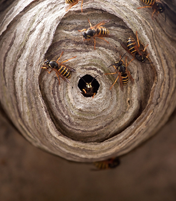 A macro of a small wasp nest